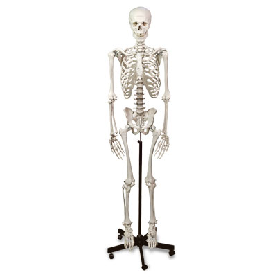 Human Skeleton with Stand